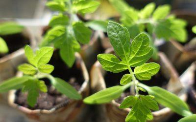 Miks kavatada endale tomateid seemnetest?