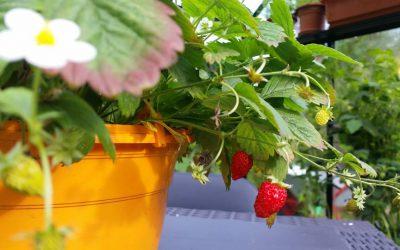 Esimesed head maasikad saad ikka oma kasvuhoonest!