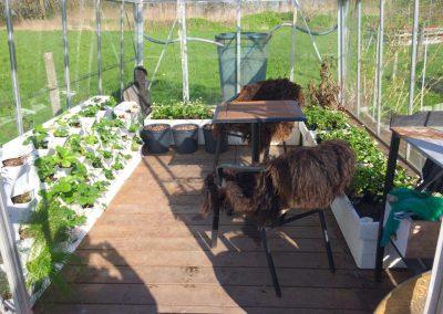 Vertikaalne aiandus kasvuhoones