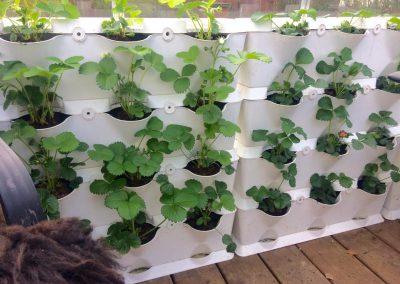 Vertikaalne maasikapeenar kasvuhoones
